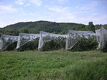 Sonnac-sur-l'Hers-Pommes2.JPG