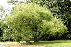Sophora japonica JPG2Aa.jpg