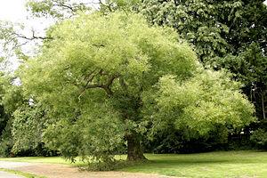 Styphnolobium japonicum - Image: Sophora japonica JPG2Aa