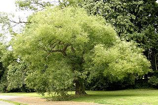 <i>Styphnolobium japonicum</i> species of plant
