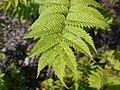 Sorbaria sorbifolia 2017-05-16 0361.jpg