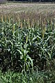 Sorghum bicolor plant (02).jpg