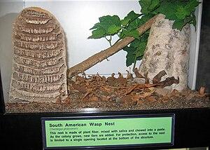 Polistinae - South American epiponine nest