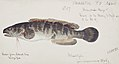 Southern Pacific fishes illustrations by F.E. Clarke 8.jpg