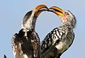 Southern Yellow-billed Hornbill, Tockus leucomelas, at Elephant Sands Lodge, Botswana (31475269483).jpg