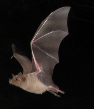 Southern long-nosed bat - Image: Southern long nosed bat