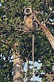 Southern plains grey langur (Semnopithecus dussumieri) male.jpg