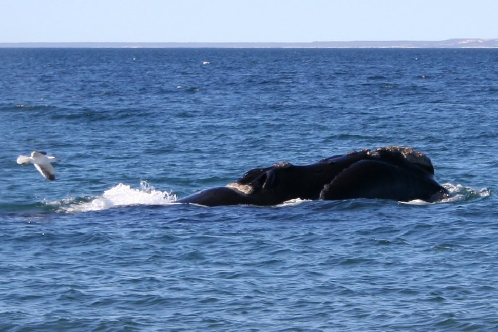 Southern right whale5