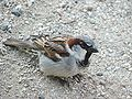 Sparrow in Bystrc 01.JPG
