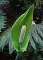 Spathiphyllum blandum kz01.jpg