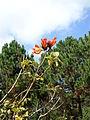 Spathodea campanulata (2).JPG