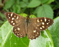 Speckled Wood butterfly male.jpg