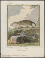 Spermophilus guttatus - 1700-1880 - Print - Iconographia Zoologica - Special Collections University of Amsterdam - UBA01 IZ20400133.tif