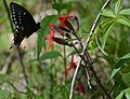 Spicebush Swallowtail on Silene (5690691170).jpg