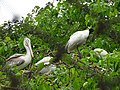 Spot-billed pelican and Black-headed ibis.jpg