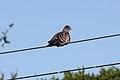 Spot-winged Pigeon (Patagioenas maculosa) (15772735510).jpg