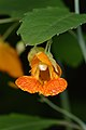 Spotted Jewelweed (Impatiens capensis) - MacGregor Point Provincial Park 01.jpg