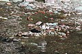 Spotted Sandpiper (9317169064).jpg