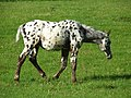 Spotted horse - geograph.org.uk - 845899.jpg