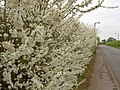 Springtime in Hatfield Woodhouse - geograph.org.uk - 1247371.jpg