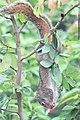 Squirrel-srilanka.jpg