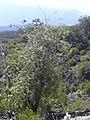 Starr-040131-0006-Charpentiera obovata-habit-Auwahi-Maui (24671531626).jpg