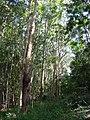 Starr-041113-0642-Eucalyptus sp-habit-Makawao Forest Reserve-Maui (24718966735).jpg