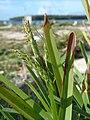 Starr-080605-6376-Stenotaphrum secundatum-habit-Finger piers Sand Island-Midway Atoll (24546194379).jpg