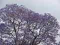 Starr-090513-7770-Jacaranda mimosifolia-flowering habit-Seabury Olinda-Maui (24324542824).jpg