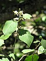 Starr-090610-0496-Solanum torvum-flower leaves and fruit-Haiku-Maui (24596095899).jpg