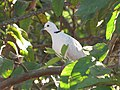 Starr-100113-1209-Psidium guajava-branches with ringneck dove-Waihee-Maui (24639061579).jpg