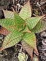 Starr-110307-2648-Aloe sp-habit-Kula Botanical Garden-Maui (25078478605).jpg