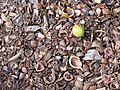 Starr-110307-2715-Macadamia integrifolia-nuts on ground-Kula Botanical Garden-Maui (24447928604).jpg