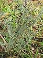 Starr-110330-3586-Lavandula sp-habit-Garden of Eden Keanae-Maui (25054136716).jpg