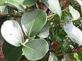 Starr-110330-3654-Clusia rosea-leaves-Garden of Eden Keanae-Maui (24453717933).jpg