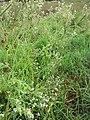 Starr-110503-5481-Parthenium hysterophorus-flowering habit-Kula-Maui (25068497666).jpg