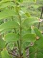 Starr-110830-8805-Sapindus saponaria-leaves and winged stems-Ulupalakua-Maui (25104419865).jpg