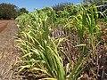Starr-120702-7856-Cenchrus purpureus x glaucum-Hoolehua PMC hybrid Pearl Millet x banagrass-USDA Plant Materials Center-Molokai (24818438009).jpg