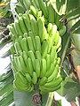 Starr-121108-0876-Musa x paradisiaca-Maoli Maia Honomanu fruit-Pali o Waipio-Maui (24569801543).jpg
