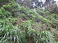 Starr-130319-2805-Caesalpinia decapetala-climbing habit with glycine beyond-Quarry Beach Rd-Kauai (24577536194).jpg