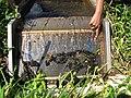 Starr-130322-3813-Ageratum houstonianum-habitat with fish exclusion device-Hanalei NWR-Kauai (25091475032).jpg