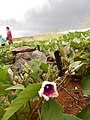 Starr-141217-2957-Ipomoea batatas-flowering habit with sweet potato hornworm Agrius cingulata larva-Lua Makika-Kahoolawe (25223086536).jpg