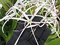 Starr-150403-1468-Crinum asiaticum-flowers-Near Pier Eastern Island-Midway Atoll (24651022613).jpg