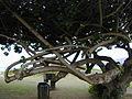 Starr 010309-0530 Hibiscus tiliaceus.jpg
