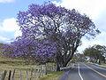 Starr 010423-0003 Jacaranda mimosifolia.jpg