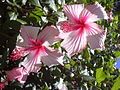 Starr 030702-0036 Hibiscus rosa-sinensis.jpg