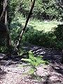 Starr 040812-0054 Araucaria columnaris.jpg