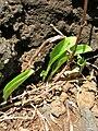 Starr 050924-4478 Commelina benghalensis.jpg