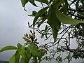 Starr 051029-5095 Nestegis sandwicensis.jpg