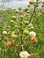 Starr 060721-9553 Leucaena leucocephala.jpg